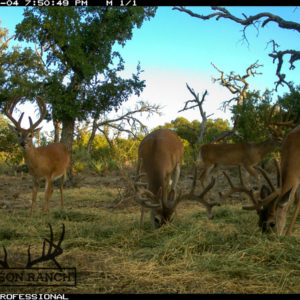 Trophy Whitetail Buck Trailcam