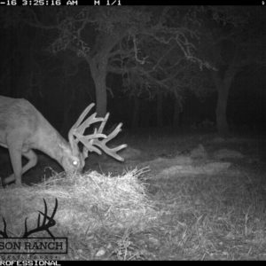 Native Texas Whitetail Buck