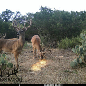 Texas Whitetail Buck Trailcam