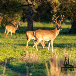 Native Texas Whitetail Deer 3
