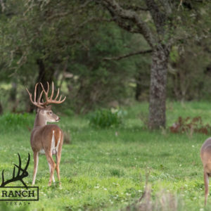 Native Texas whitetail deer 2