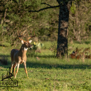 Native Texas Whitetail Deer 4