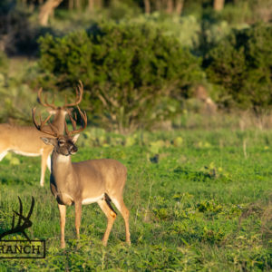 Native Texas whitetail deer 6