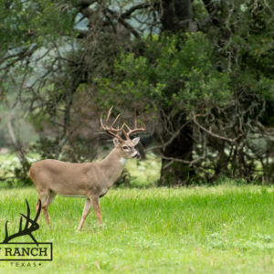Native Texas Whitetail Deer 7