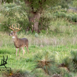 Native Texas Whitetail Deer