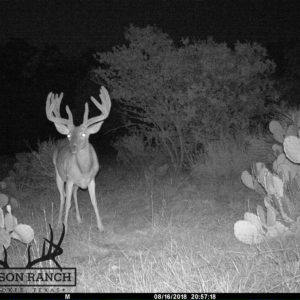 Native Texas Whitetail Buck 2