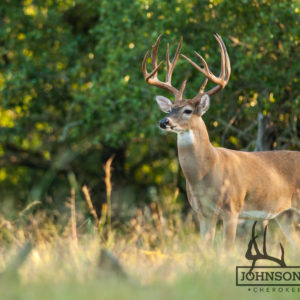 Native Texas whitetail deer 9